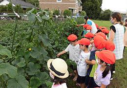 トマト・きゅうりの収穫